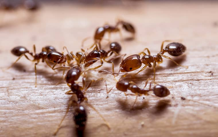 a swarm of fire ants inside of a southeast texas home