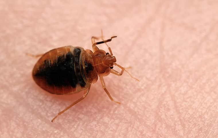 a bed bug crawling on human skin inside of a home in southeast texas