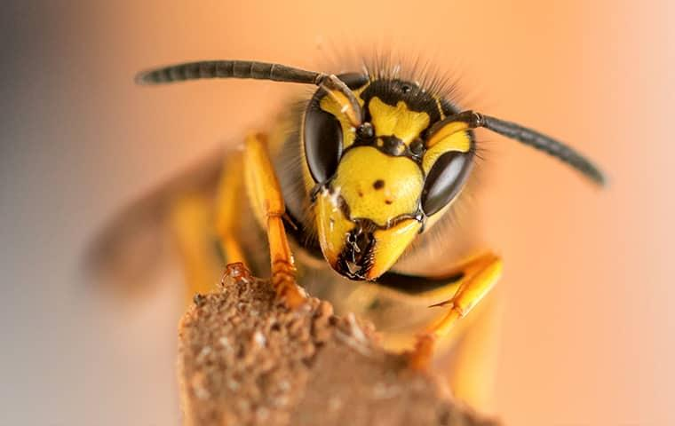 a bold yellow wasp heading up a thin wooden structure along a home in texas