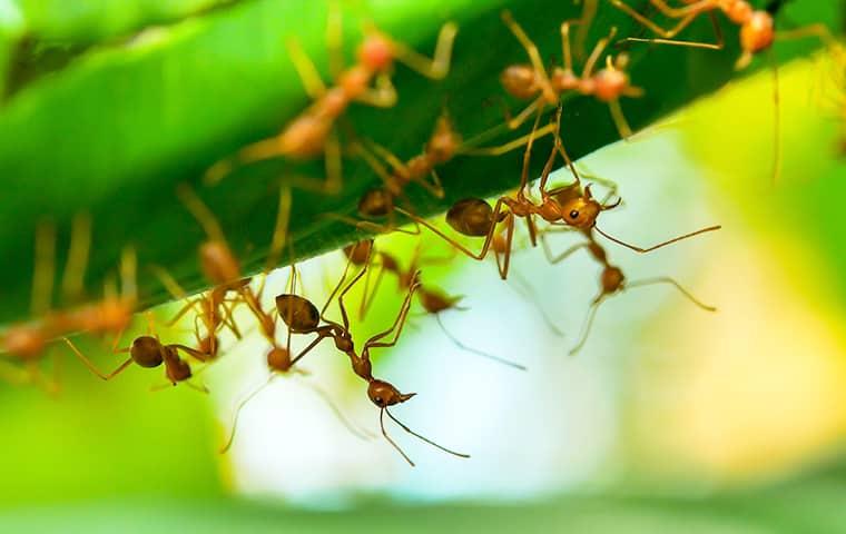 fire ants in a flower bed in bridge city texas