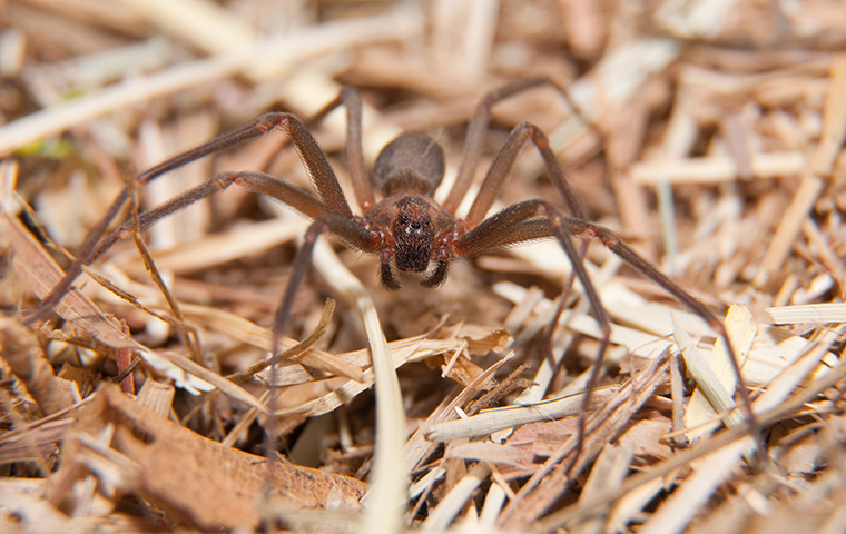 brown recluse spider on orange texas property