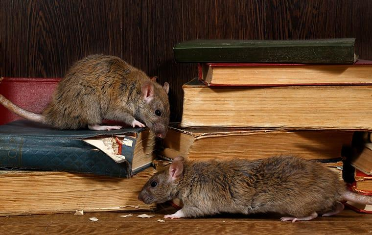 two rats chewing books in a home library in buna texas