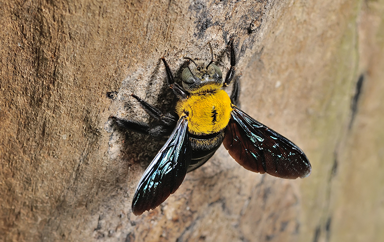 carpenter bee on property of bon wier texas home