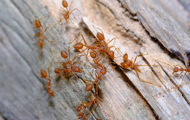red ants infesting outdoor living space in conroe texas