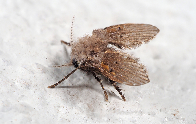 drain fly in beaumont texas