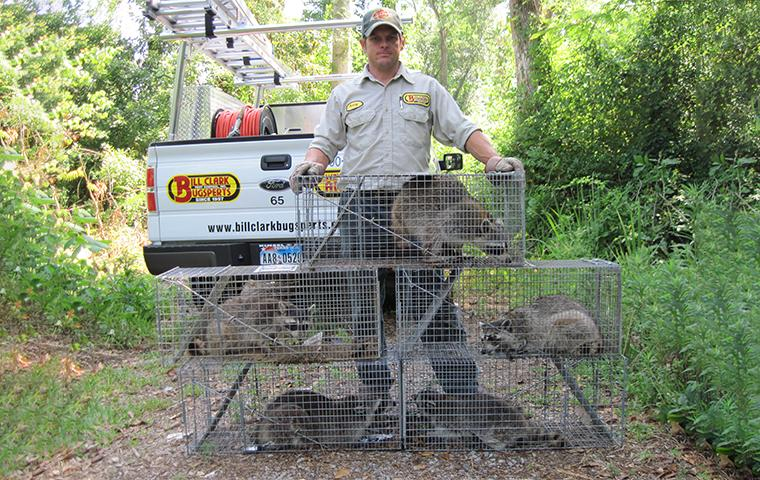 a southeast texas wildlife control pro with trapped raccoons