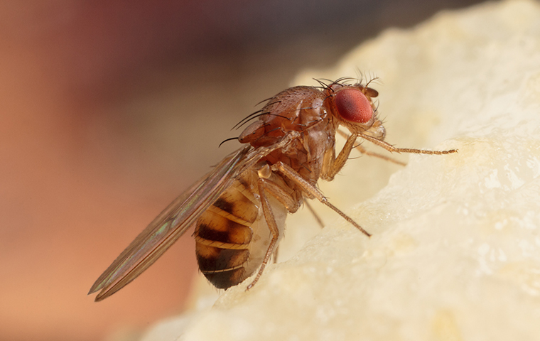 fruit fly in brookeland texas home