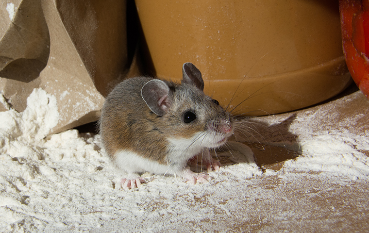 house mouse inside of southeast texas home