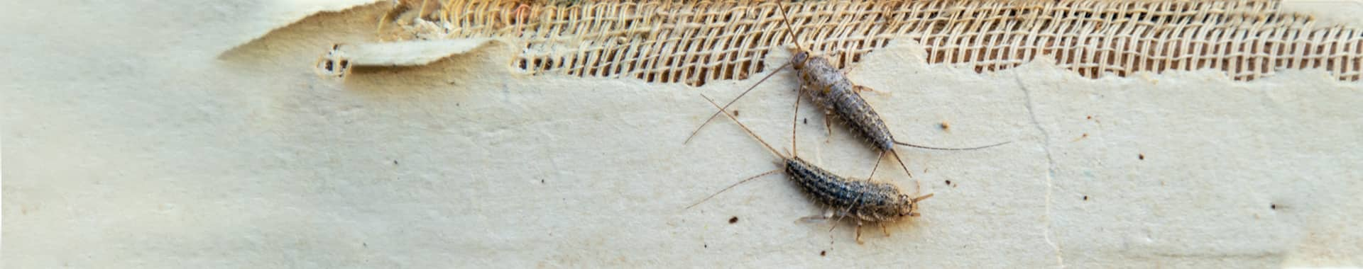 two silverfish on torn paper