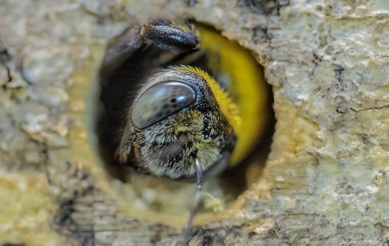a carpenter bee in wood outside of a home in vidor texas