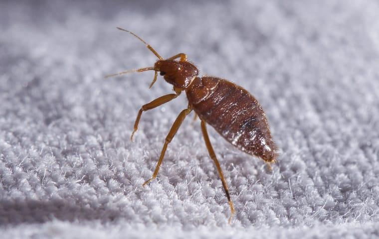 a bed bug crawling on sheets in a home in mauriceville texas
