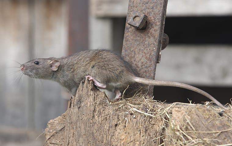 a norway rat crawling outside a barn in mauriceville texas