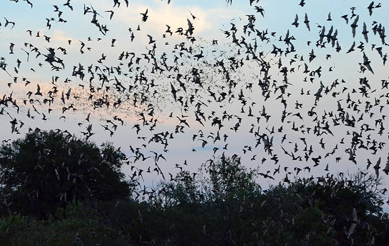 mexican free tail bats flying in the southeast texas sky