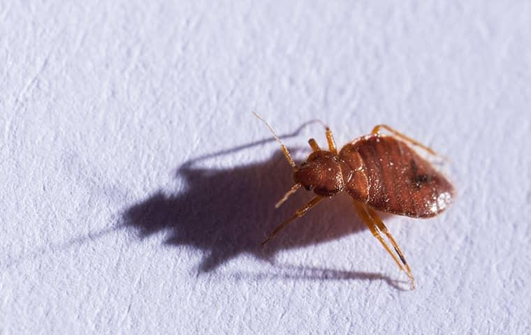 a bed bug crawling on sheets in nederland texas