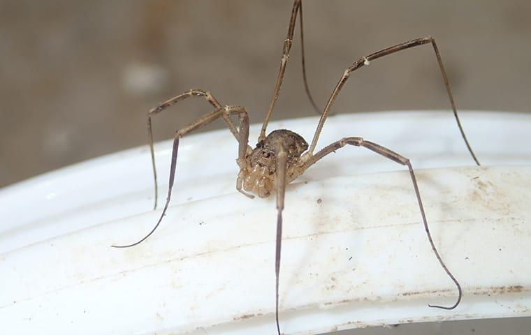 a daddy long legs spider in a newton texas home
