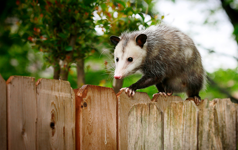 opossum on a wooden fence in woodville texas