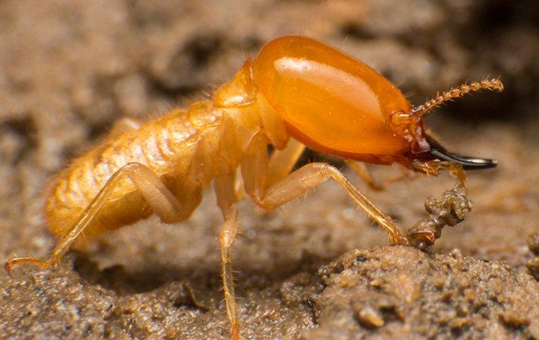 a termite crawling on wood in orangefield
