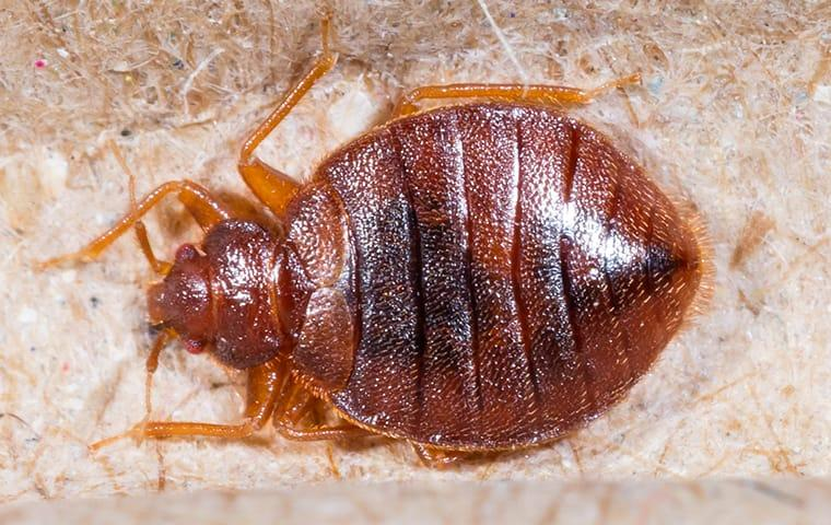 close up of bed bug