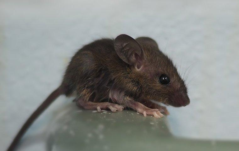a mouse crawling on plumbing in a home in pinewood estates