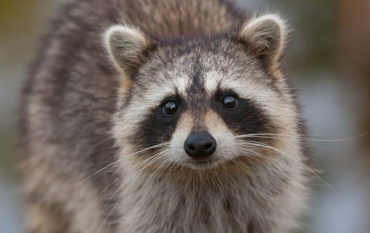 raccoon standing outside a home in port bolivar texas