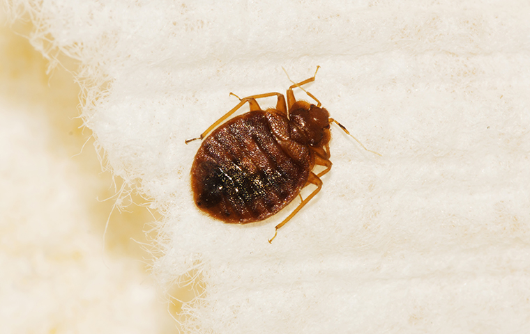 bed bug upclose