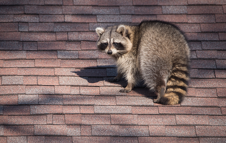 raccoon on the roof of a jasper texas house