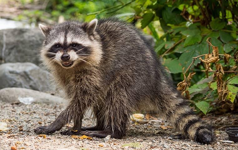 a raccoon walking in a wallisville yard