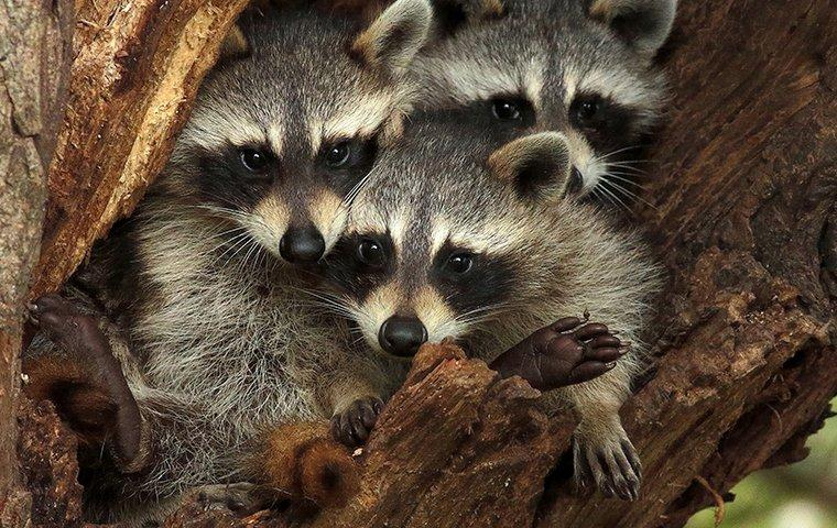 raccoons sitting in a tree in pineland texas