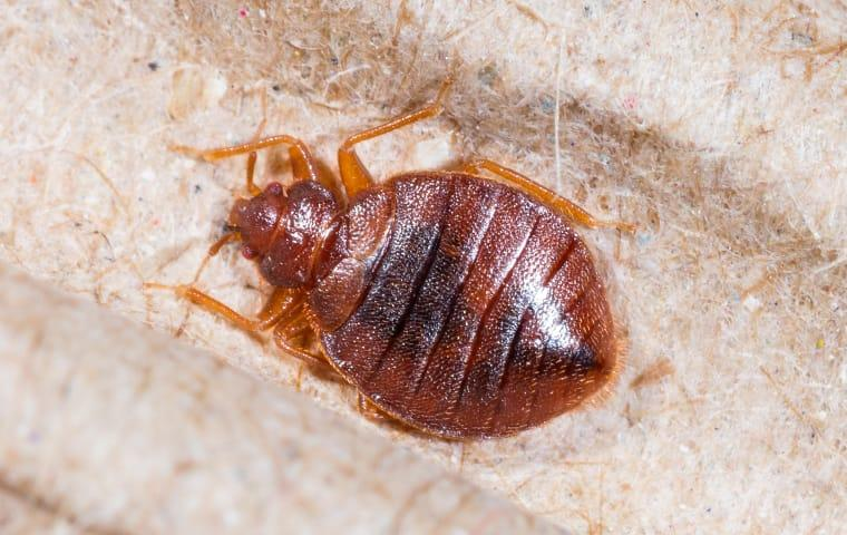 a bed bug crawling on a mattress in sabine pass texas