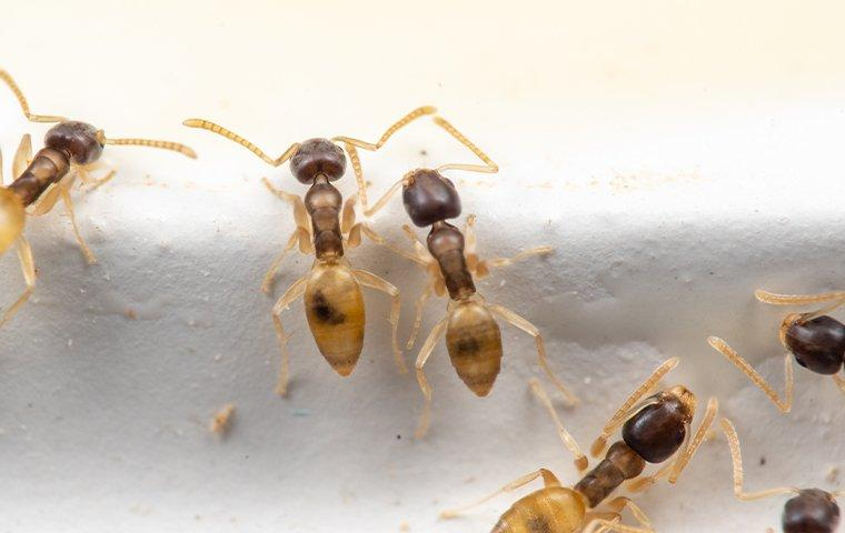 ghost ants crawling in a home in sour lake texas