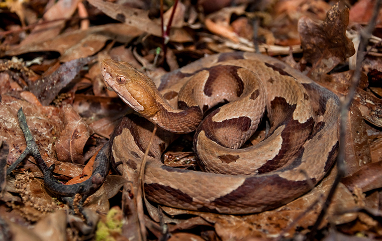 brown and tan snake in southeast texas