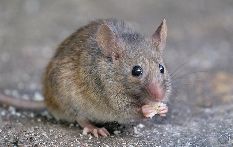 closeup of a mouse eating crumbs