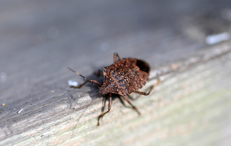 closeup of a stink bug on a wooden table