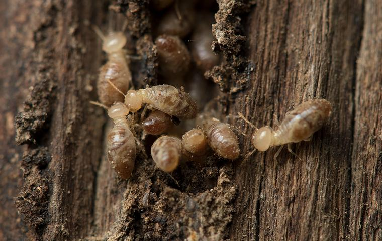 foraging termites in southeast tx