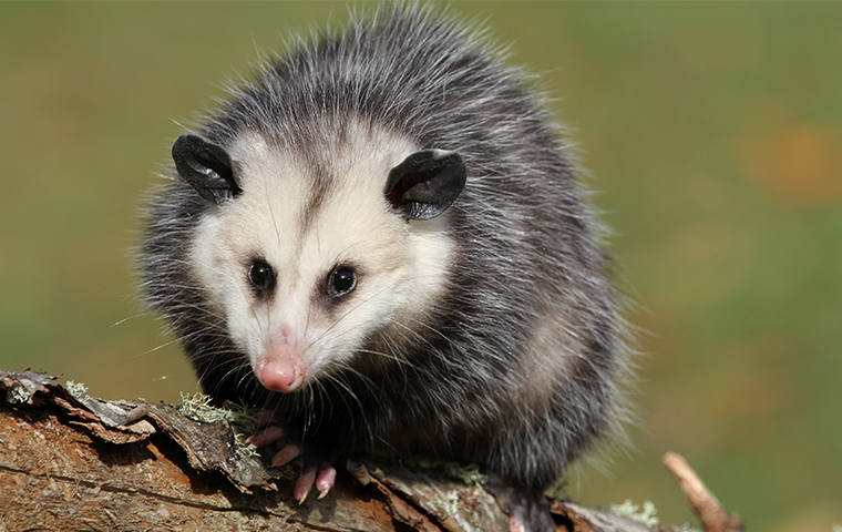 A Possum Sitting On Wood