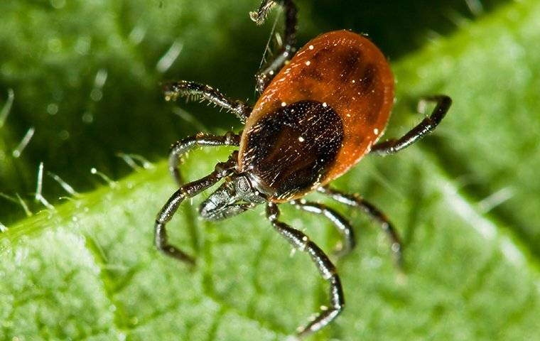 a tick crawling on a green leaf