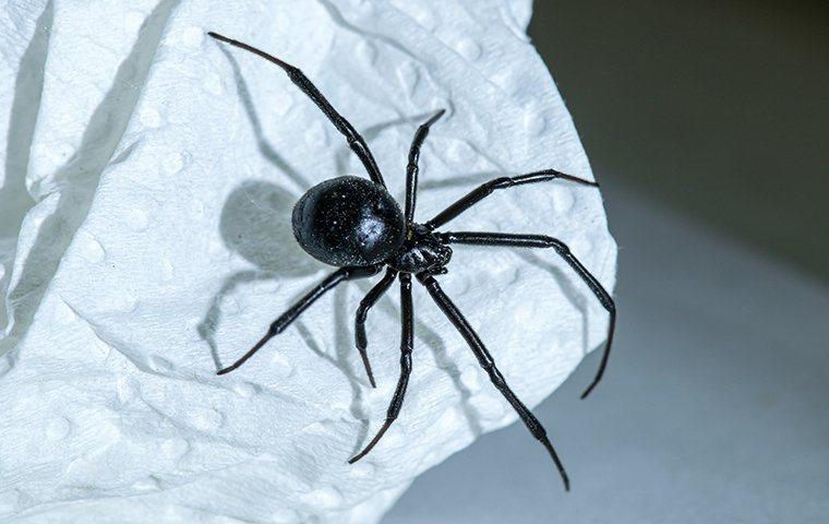 A black widow spider on a paper towel.