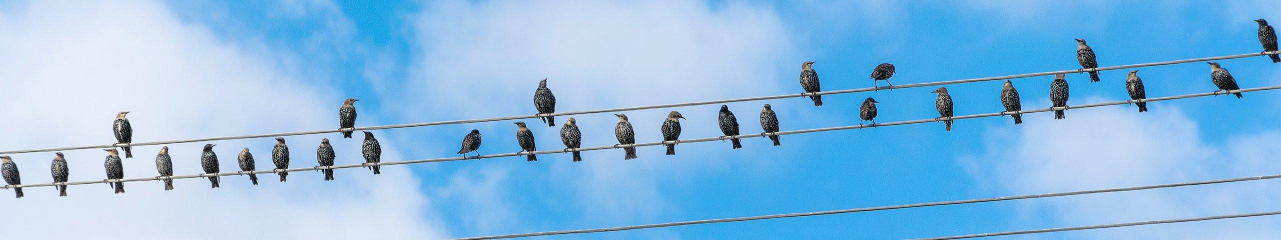 starlings perched on telephone wires