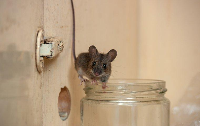 a tiny house mouse on top of a glass jar