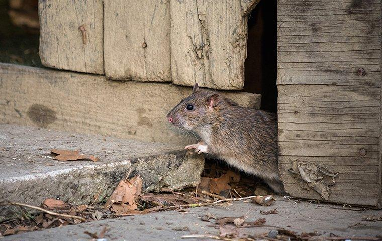a rat coming out of a crack in a shed