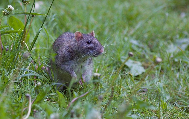 rat sitting in grass outside home