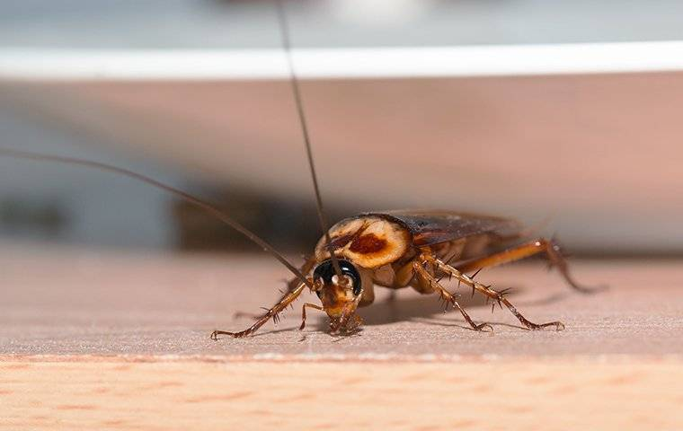 an american cockroach crawling on a kitchen counter