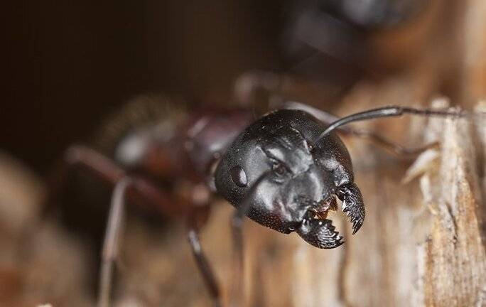 carpenter ant crawling from a nest