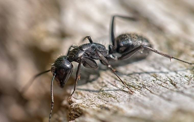 a carpenter ant crawling on a piece of wood