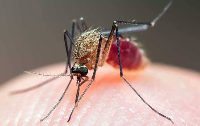 mosquito drinking blood