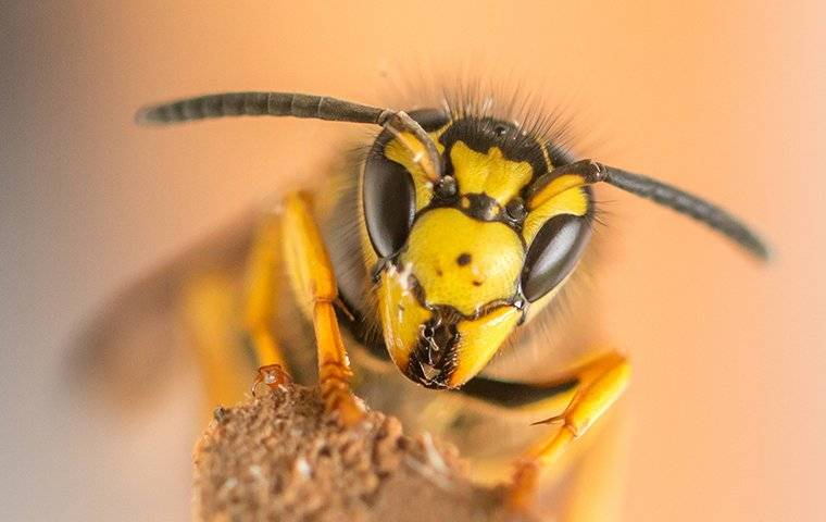 yellow jacket on a tree branch