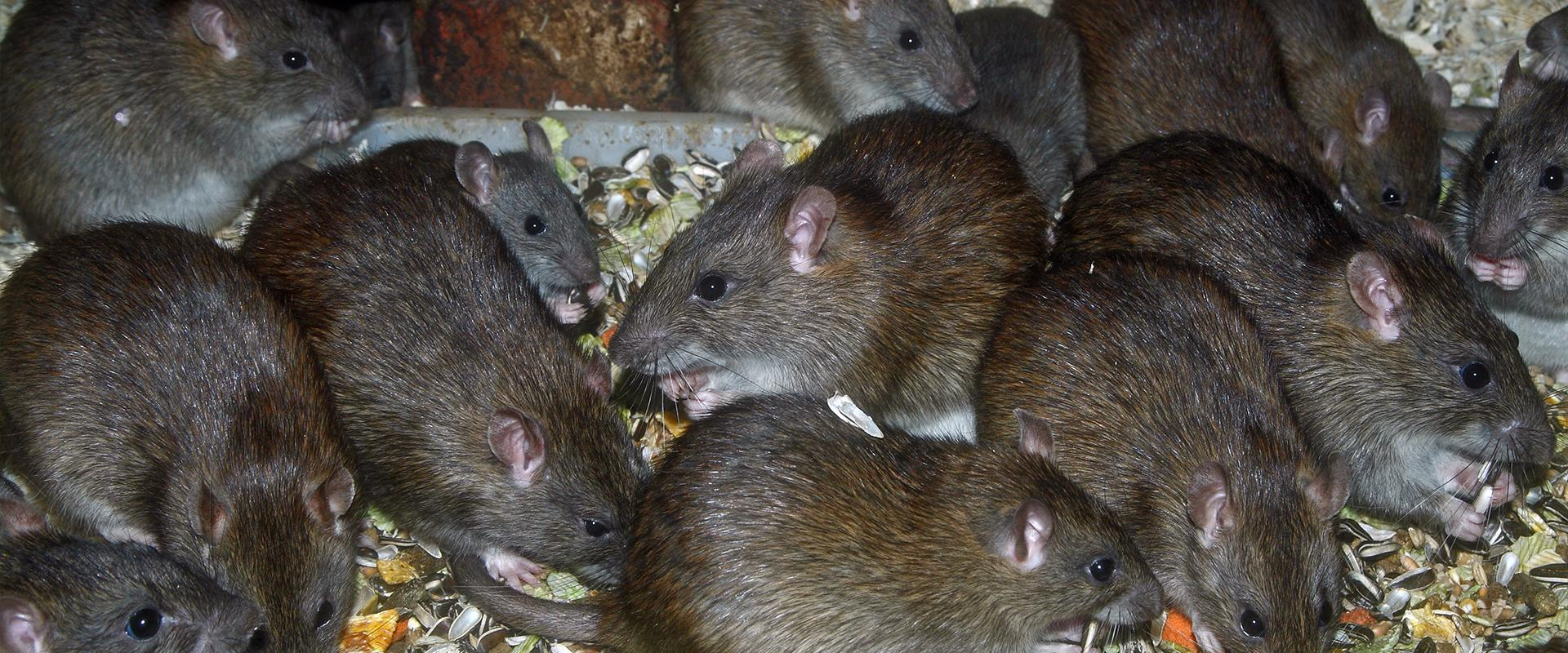 rats gathered in oklahoma city