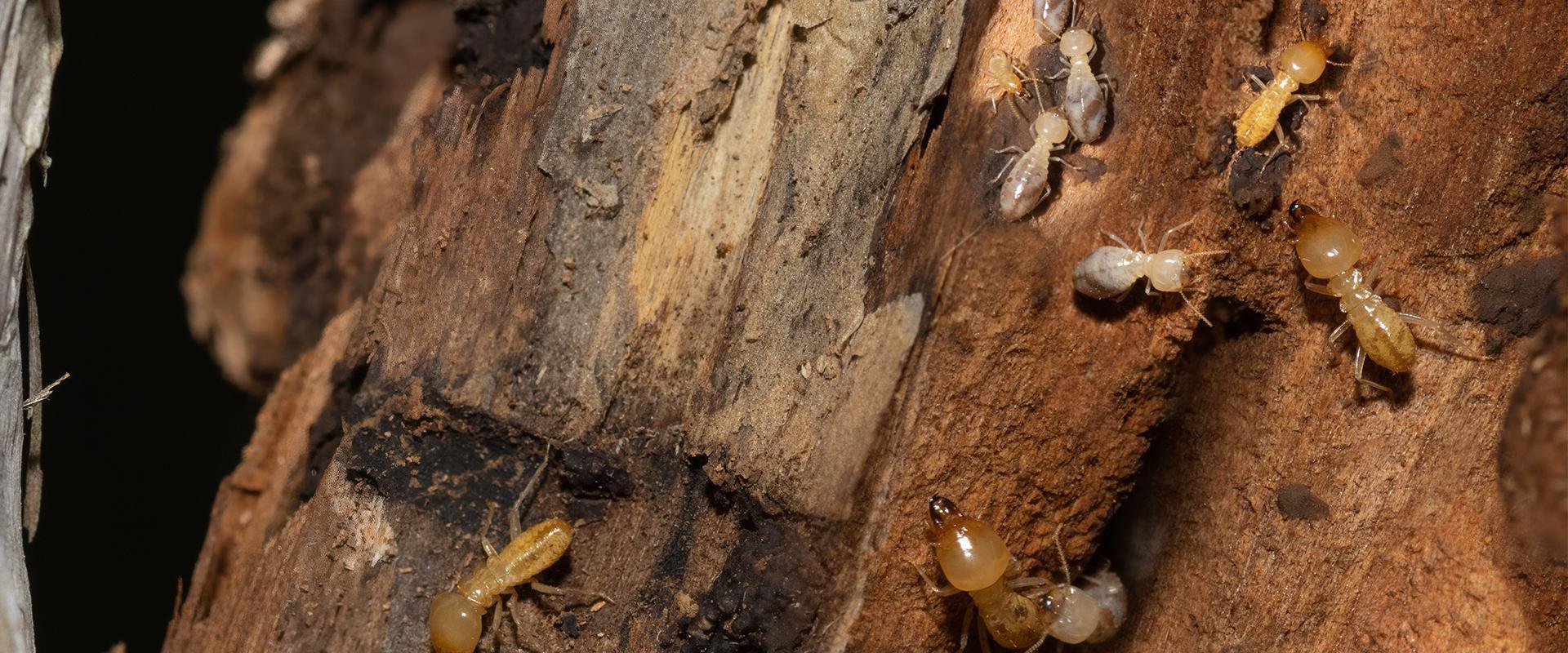termites on wood in oklahoma city