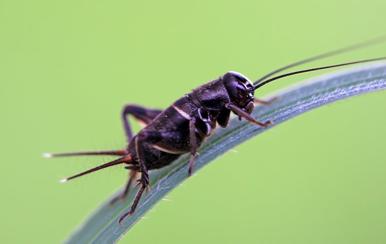 a cricket on grass in oklahoma city