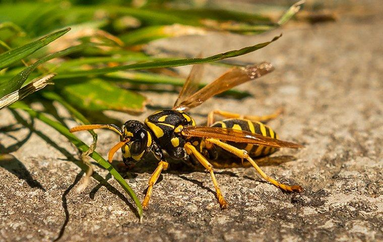 a wasp on the ground in oklahoma city